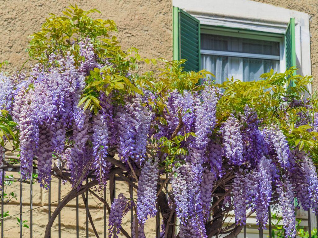 uprawa wisterii