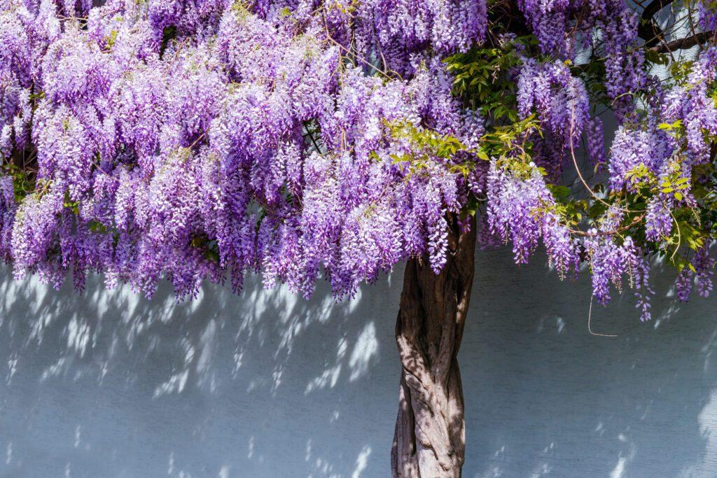 wisteria pielęgnacja