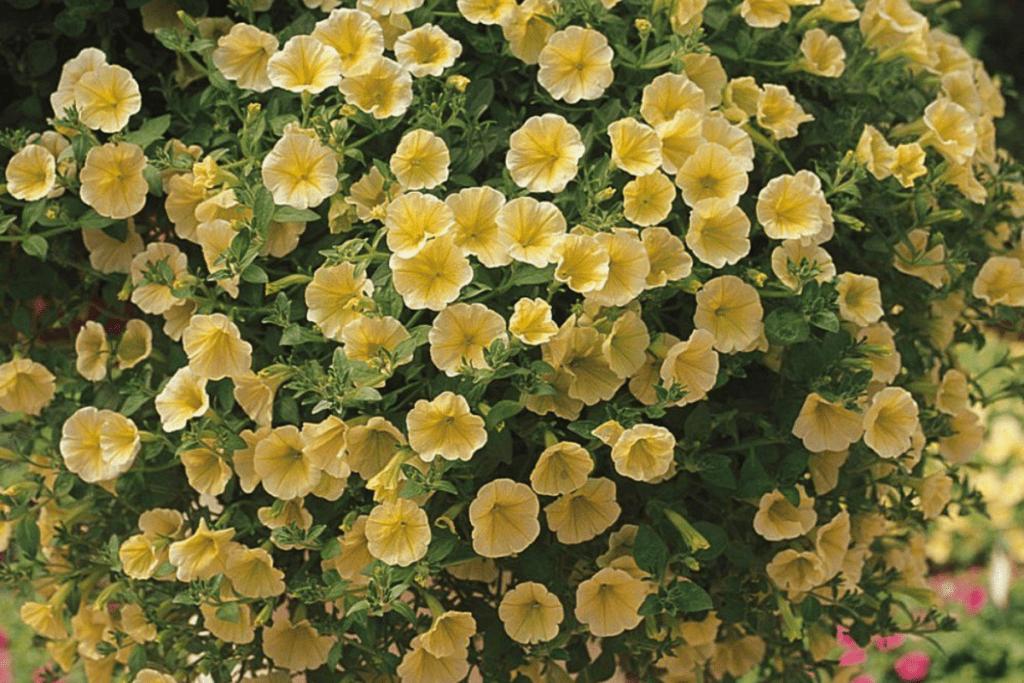 Petunia Victorian Yellow