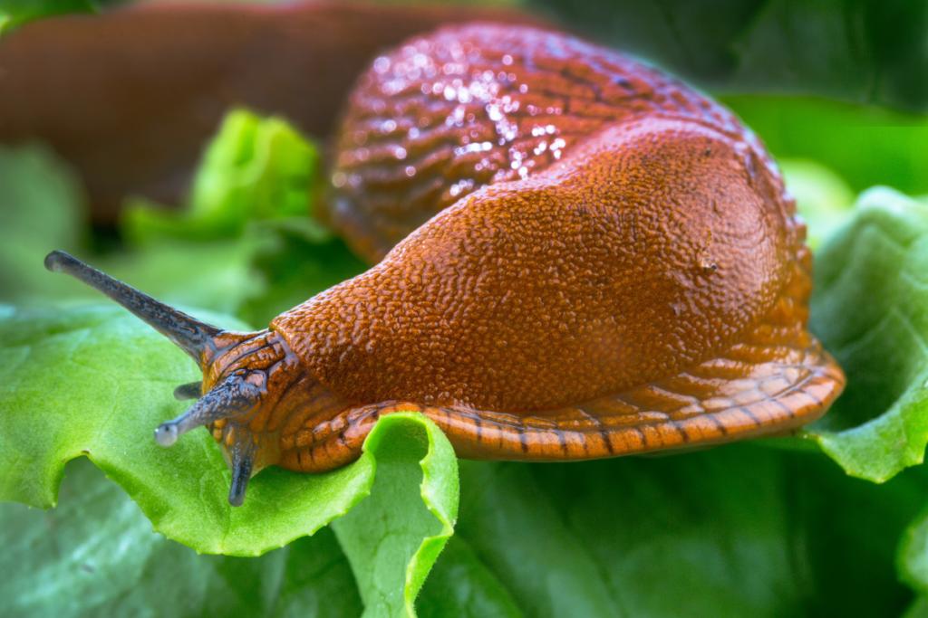 roślina odstraszająca ślimaki