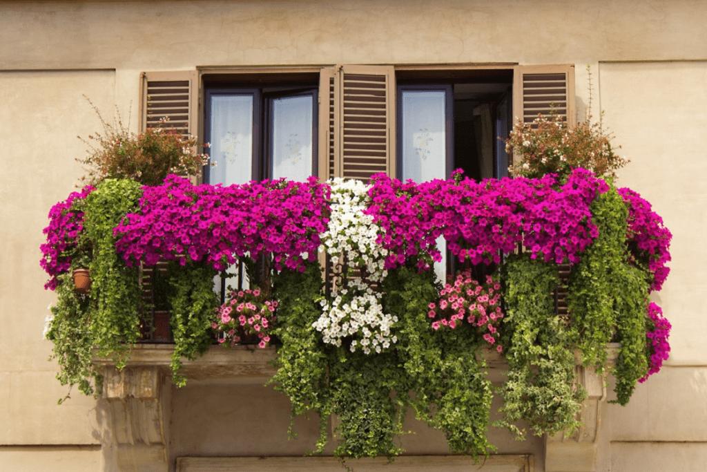 Surfinia na balkonie