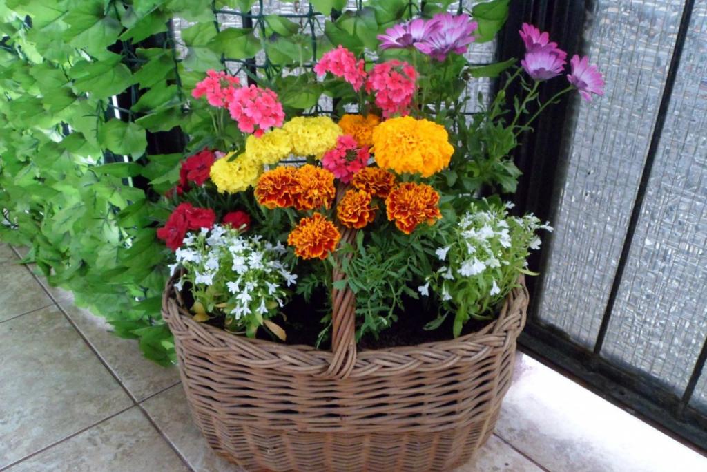 Jesienne kwiaty na balkon - Aksamitka
